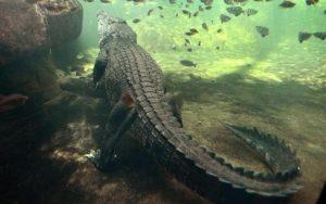 """Australia crocodile attack: MP calls Victim """"Stupid"""""""