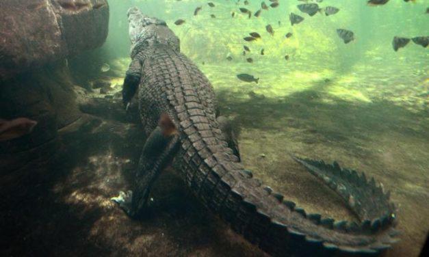 """Australia crocodile Attack Leaves Woman Dead:  MP calls Victim """"Stupid"""""""