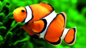 Finding Dory clownfish