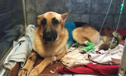 German shepherd saves its human from rattlesnake