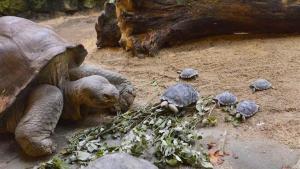 Giant Galapagos has zoo