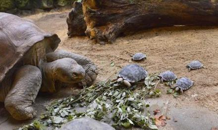 Giant 80-year-old Galapagos has nine eggs at zoo