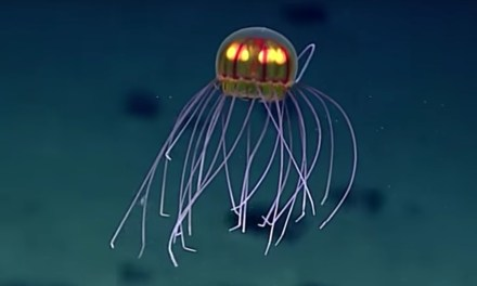 Jellyfish discovered:  Looks Like An Alien