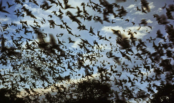 Mexican free-tailed bats (Tadarida brasiliensis mexicana) exiting a cave in Texas. It is difficult to estimate the number of bats exiting a cave when large populations are involved.