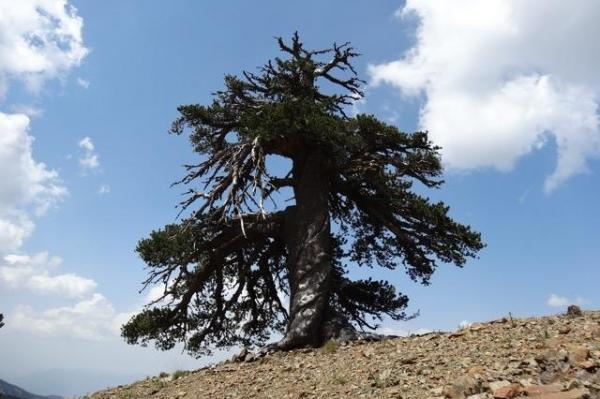 Adonis Bosnian pine