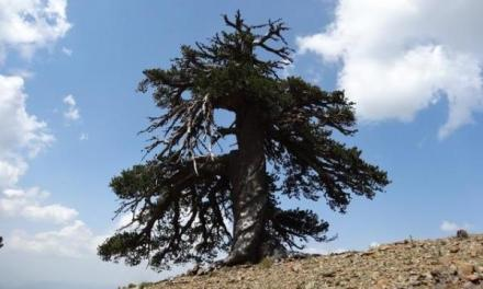 Adonis Bosnian pine is oldest organism in Europe