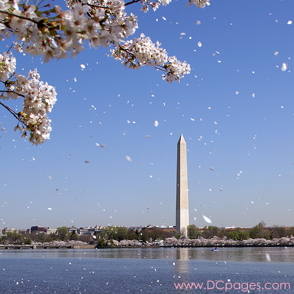 (Photo, courtesy of dcpages)  Cherry blossom petals, flying with the wind in Wahington D.C.