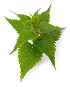 Nettle leaf, is a popular herbal remedy that is used to help relieve urinary problems, and the symptoms of arthritis, eczema, gout. Scientific evidence supports the use of nettle root for urinary problems associated with benign prostatic hyperplasia. There is an increasing amount of scientific evidence regarding the efficacy and safety of herbal medicine – including what is known as 'gold standard' research such as randomised controlled trials. Deanne Greenwood, a medical herbalist, practices in Falmouth, Helston and Penzance in Cornwall. Deanne Greenwood also does telephone and Skype consultations for people who live in other parts of the UK. Deanne Greenwood is fully qualified and insured. She has a BSc (Hons) in herbal Medicine. Deanne Greenwood is a member of the College Of Practitioners Of Phytotherapy MCPP.