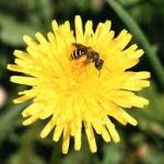 Hooray for the humble dandelion!