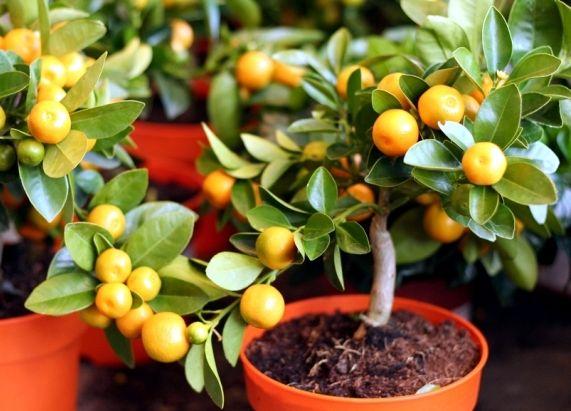 arbre fruitier nain