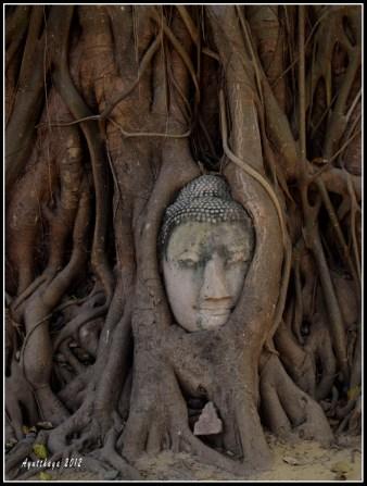 在菩提樹下帶著微笑的佛頭,被樹根包著,顯得很安詳