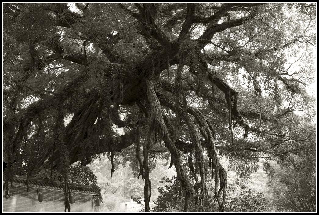 有850 多年的古榕樹