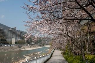 武庫川的櫻花樹