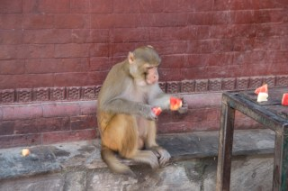 The monkey picks up some watermelon bits on the floor