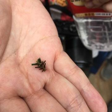 避債蛾,平時行山時常見到,吊在半空中,一直以為係樹跌落的果實或種子
