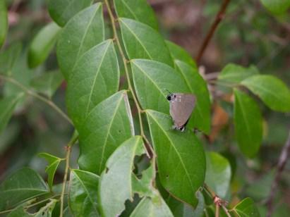 東平洲有不同的蝴蝶品種,沿途看到很多