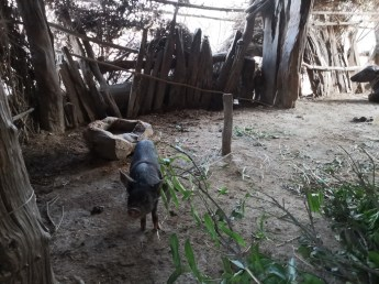 They keep domestic animals such as cattle, pigs, and sheeps in their houses
