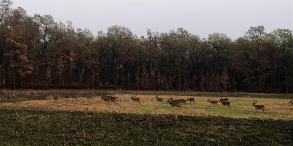 A group of swamp deers running in the jungle