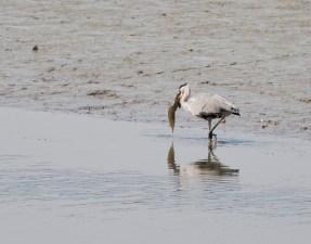 蒼鷺-捉到大魚,洗完又洗,但最後無食,可能太大條