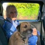 Border Terrier in car
