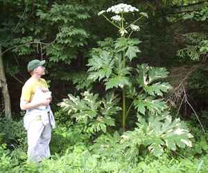 GIANT HOGWEED PLANT DO NOT TOUCH EVER, PICTURE