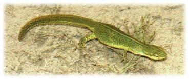 adult eastern newt