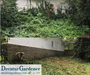 Decatur Gardener Ivy Clearance