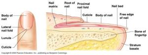 Blair, Brian  Science  A&P Ch 4 Integumentary System