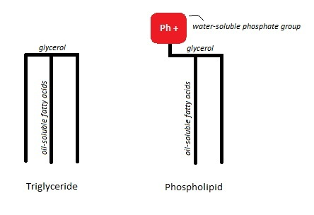 Structure of a triglyceride next to a phospholipid