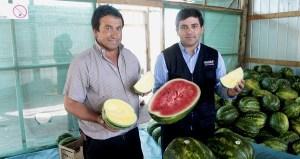 Agricultor de Maule produce sandías amarillas y sin semillas.