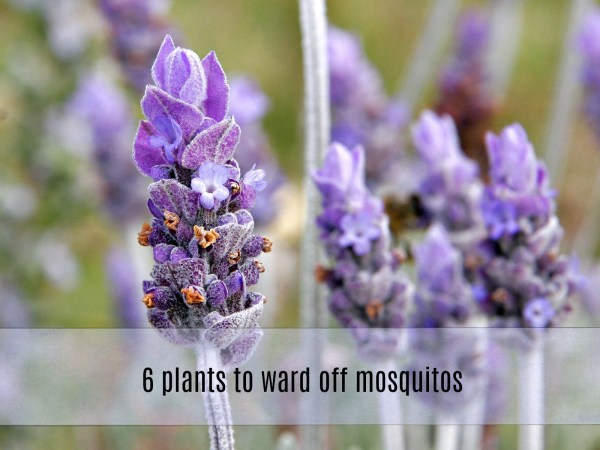 plants to ward off mosquitos