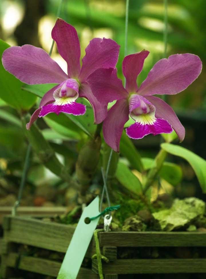 Orquídea Cattleya Walkeriana: essa espécie é considerada como uma das mais bonitas pelos orquidófilos. A Cattleya Walkeriana é nativa do Brasil e foi descoberta pelo inglês George Garder em 1839 nas margens do rio São Francisco
