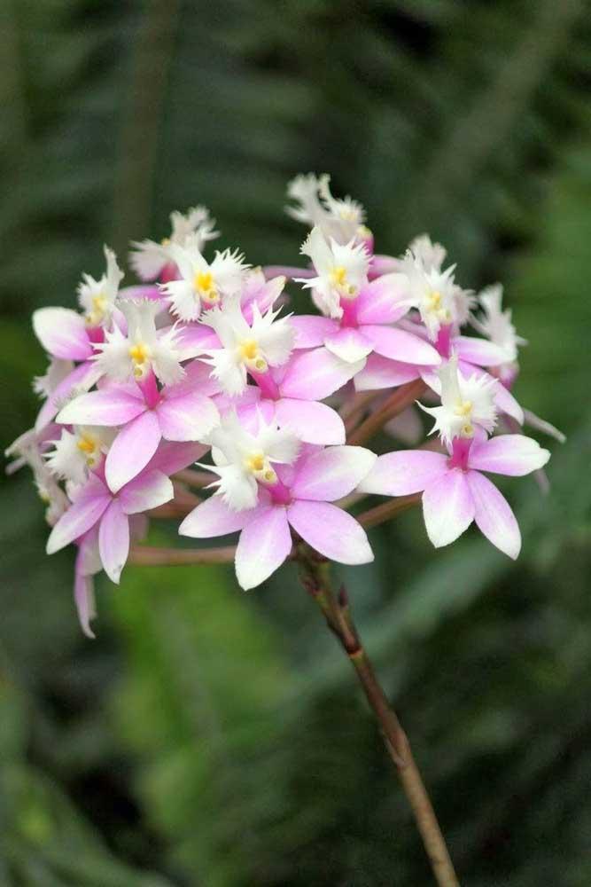 A orquídea Epidendrum Rosa é fácil de ser cultivada, mas merece um cuidado extra com a umidade do substrato