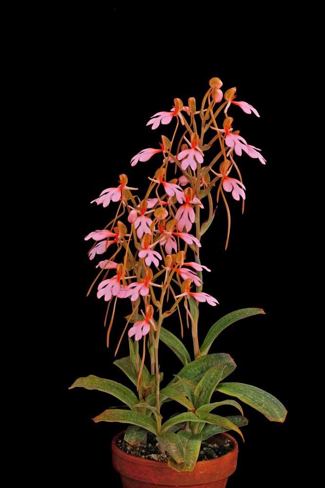 A orquídea Habenaria é uma espécie natural do Japão e pode se desenvolver tanto na terra, quanto no vaso