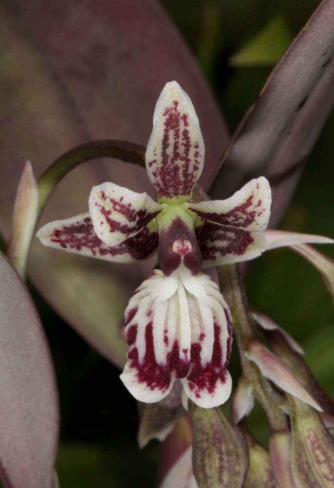 A Orquídea astronauta é uma bela opção de planta ornamental para decoração de casas