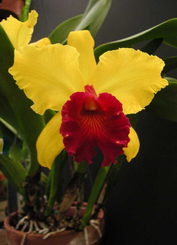 Orquídea Tipmalee: é a espécie perfeita para quem busca uma orquídea exótica e de cores vibrantes, uma vez que suas pétalas se alternam entre o amarelo ouro e o vermelho