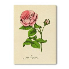 obraz-rustykalny-roza-rycina-botaniczna