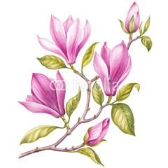 rozowa-magnolia