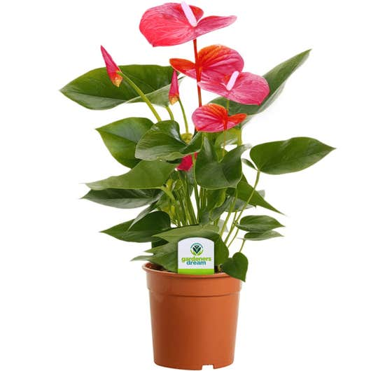 Feuille de dentelle (Anthurium)