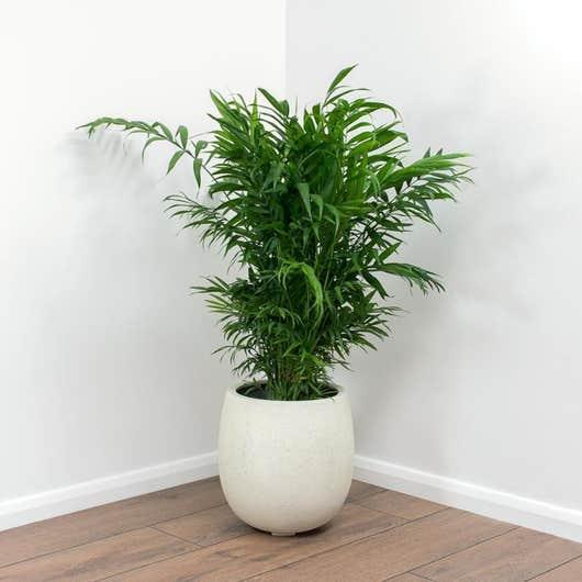 Palmier de montagne Chamaedorea Elegans