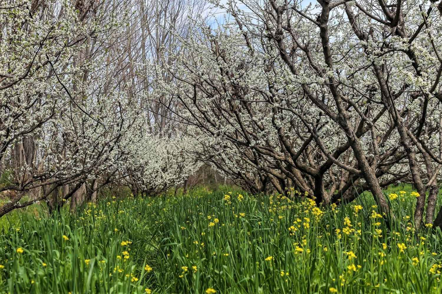 Arrival of spring in Swat valley