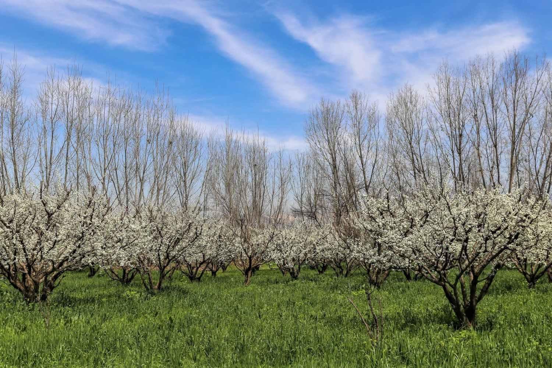 Cherry blossom in garden Swat Valley