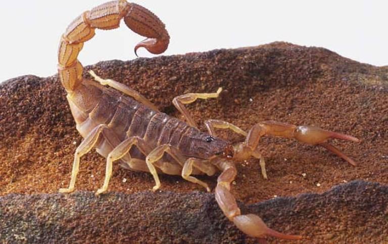 escorpião-pragas urbanas