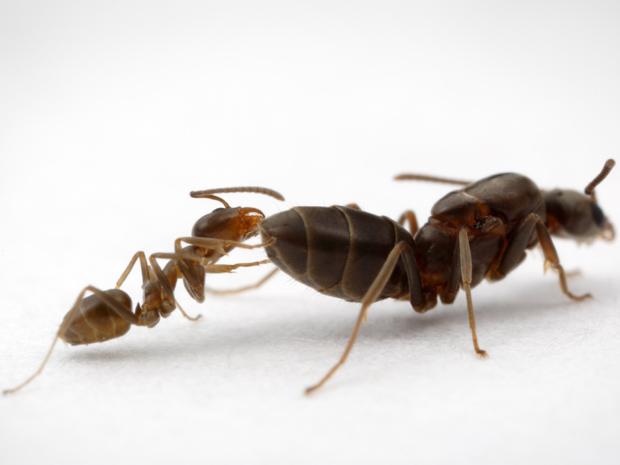 Formigas lava-pés