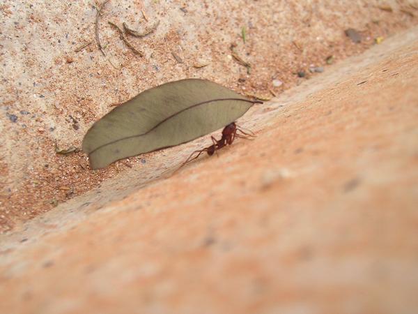 Formigas são um perigo à saúde pública