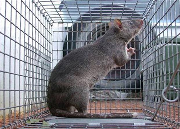 Rato gigante capturado em Grassy Key, na Flórida, em 2007. (Foto: Divulgação/Florida Fish and Wildlife Conservation Commission)