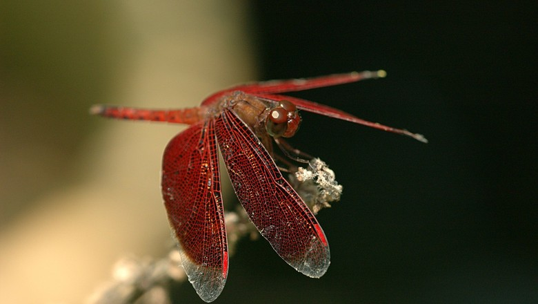 dragonfly-79122_1280