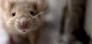 Como se livrar de vez dos ratos e roedores