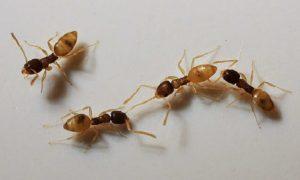 Dedetização Ajuda a Combater Infestação de Formigas