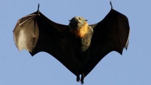 Veja as Doenças Associadas a Morcegos